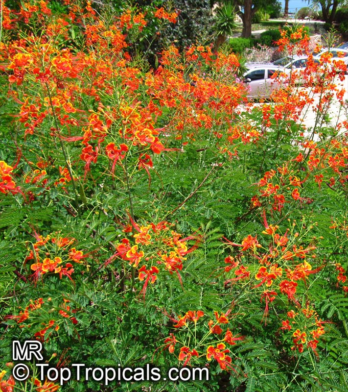 #Caesalpinia pulcherrima - Red Dwarf Poinciana, Bird of Paradise has showy bright pink/red flowers almost year round. Dormant in winter. Peacock flower - perfect color accent for a small yard or patio. Eye-stopper!   #floweringtrees #ThursdayThoughts