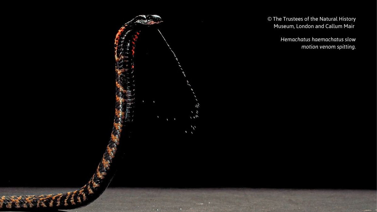 A study involving staff and students @BangorSNS reveals how a combination of the Spitting #Cobra's venom components have evolved to create an instantly painful #venom, not once, but on three separate occasions.   More:   #Research #Snakes