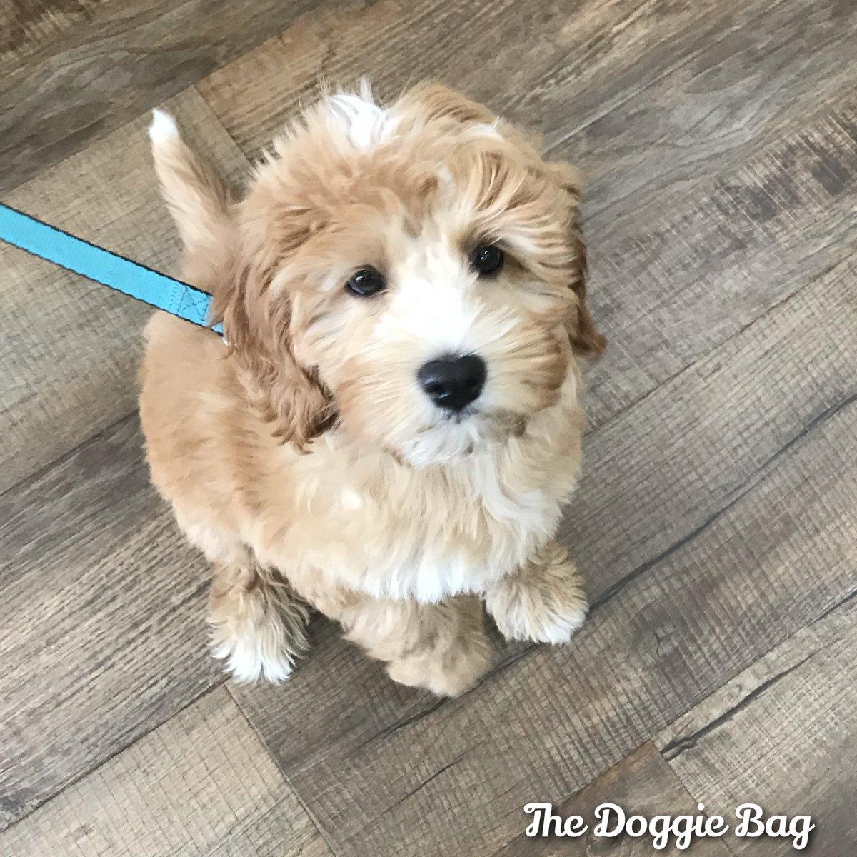 Hello Doodle!!🥰 Just can't get enough of all the #Doodles!😍 @doggiebagboutique   #goldendoodle #doodle #doodlepuppy #doodlesofinstagram #doodlesoftheworld #puppylove #puppy #puppylife #thedoggiebag #petboutique #shoplakeland #dogsoflakeland #dogmomsoflkld #lakekandfl
