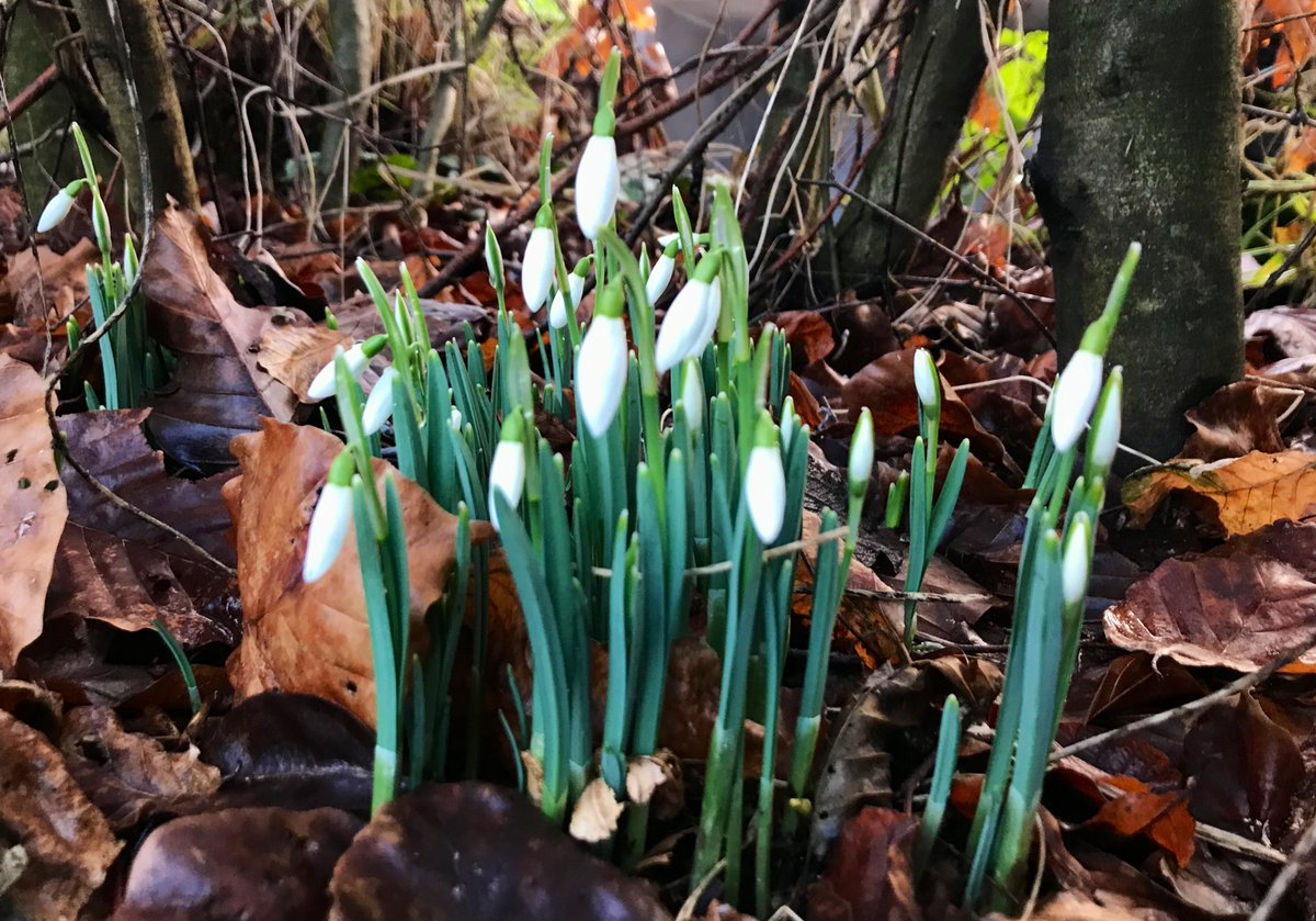 Chin up 🙂 #Snowdrops in the language of flowers represent #Hope #Rebirth and #Sympathy and ours are popping up under the beech hedge. #flowers #KeepGoing