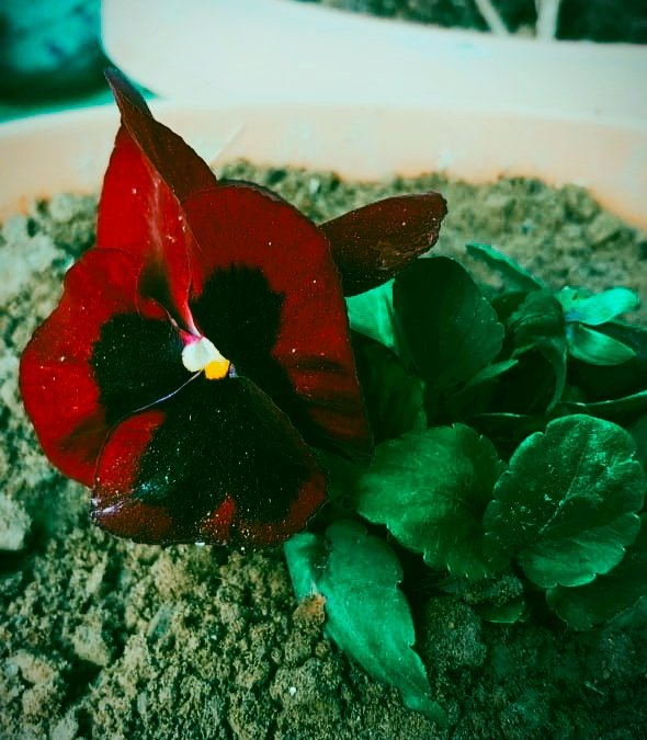 Red pansy in my garden🥀 #Pink #thursdaymorning #thursdayvibes #MotivationalQuotes #inspirational #Artist #artwork #artshare #photographer #photo #Twitter #Live #UNIVERSE #Corona #StayAtHome #Snowing #mrpricefashion #goodmorning #beauty #HomeDecor #TrueBeauty #LifeGoesOn #INDvAUS