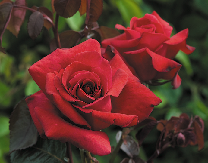 RT from TEGmagazine Our top 6 red roses for the garden, for you to get in the ground ahead of Valentine's Day!            #garden #gardening