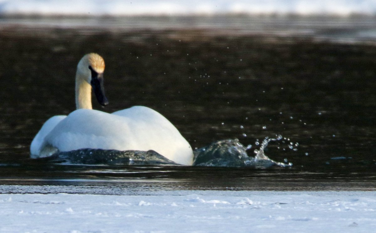 Looking for a nibble in the icy water #birds #Swans #wildlife #nature #photography #photo #ThePhotoHour #WINTER #Wisconsin