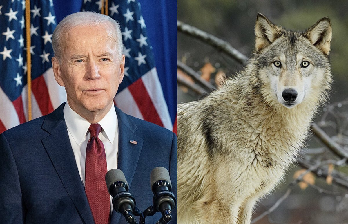 Breaking! @JoeBiden Announces U.S. Will Rejoin The #ParisClimateAgreement & Also Enact Protections For #GrayWolves 🙏🐺  READ MORE: 🌍👉