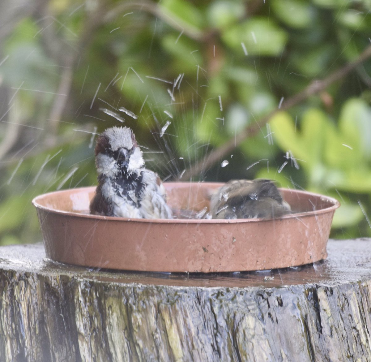 Remember a source of clean unfrozen water can be vital for birds in the winter. The House Sparrows in our garden were certainly enjoying it this morning @NTBirdClub @Natures_Voice https://t.co/I3V7vR1pvw