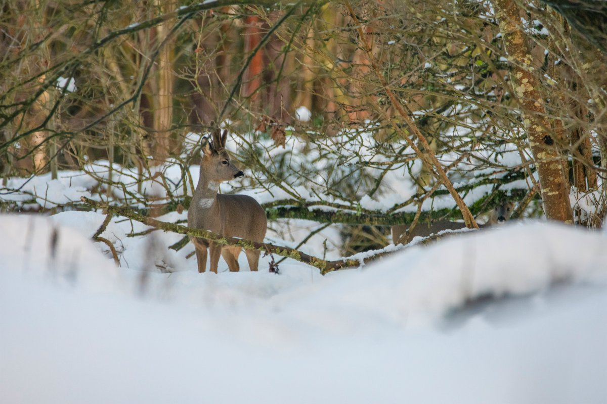 Seen this Buck Roe Deer in the woods, late this afternoon. He was with a female but she wasn't up for getting her photo taken. 🦌 #Wildlife #wildlifephotography #nature #NaturePhotography #deer @Mammal_Society @ScotWildlife @ForthNatureScot @Britnatureguide @NatureUK
