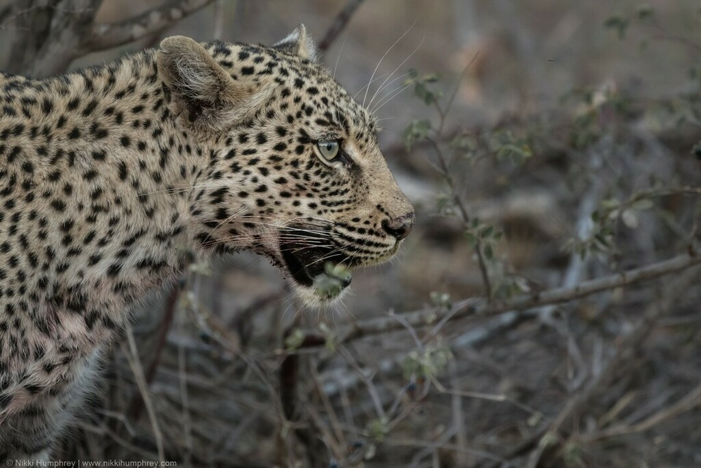 Nothing better than the gorgeous face of a Leopard.   #Leopard #GreaterKruger #LeopardsOfInstagram #SouthAfrica #Africa_Nature #Wildlife #Wildlifephotography #Photography #Nature #Travel #NaturePhotography #TravelPhotography #FemalePhotographer #FemaleWildlifePhotographer #W…