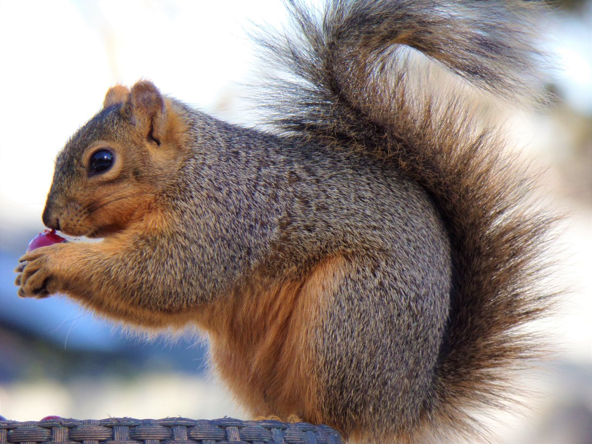 Here's a couple of my backyard buddies for #SquirrelAppreciationDay 🤎  #Squirrels #wildlife