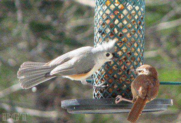 Love how this little Carolina Wren holds its ground around more aggressive species! #Nature #Wildlife