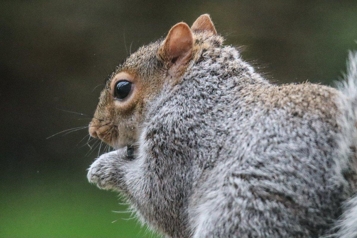 Squirrel appreciation day! 😊 #TwitterNatureCommunity #nature #NaturePhotography #SquirrelAppreciationDay #mammals #wildlife #rspb_love_nature #winterwatch