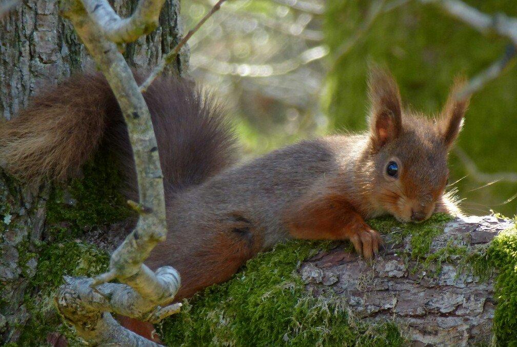 Red Squirrel appreciation day 2021.#redsquirrelappreciationday2021  @brsquirrel @SquirrelAccord  @ScotSquirrels  #redsquirrels #wildlifephotography #wildlife #wildlifephotographer #nature #naturelovers #naturephotographer #naturephotography #naturelover #TwitterNatureCommunity