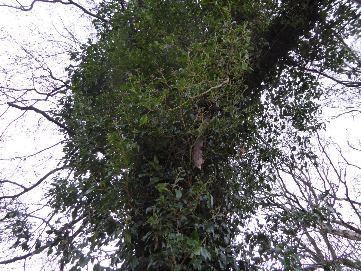 Ivy removal from mature trees where it is growing into the canopies and blocking out light and preventing photosynthesis - life saving work!  To offset the loss of ivy habitat we are creating a habitat hedge and plenty of  wood/brush piles! #biodiversity #wildlife #saveourtrees