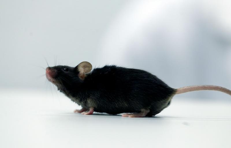 German scientists make paralyzed mice walk again