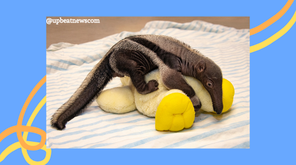 According to the Miami Zoo, a baby anteater, believed to be male, was abandoned by his mother earlier this month. The baby is now being hand-reared by zoo staff and being monitored around the clock. #wildlife