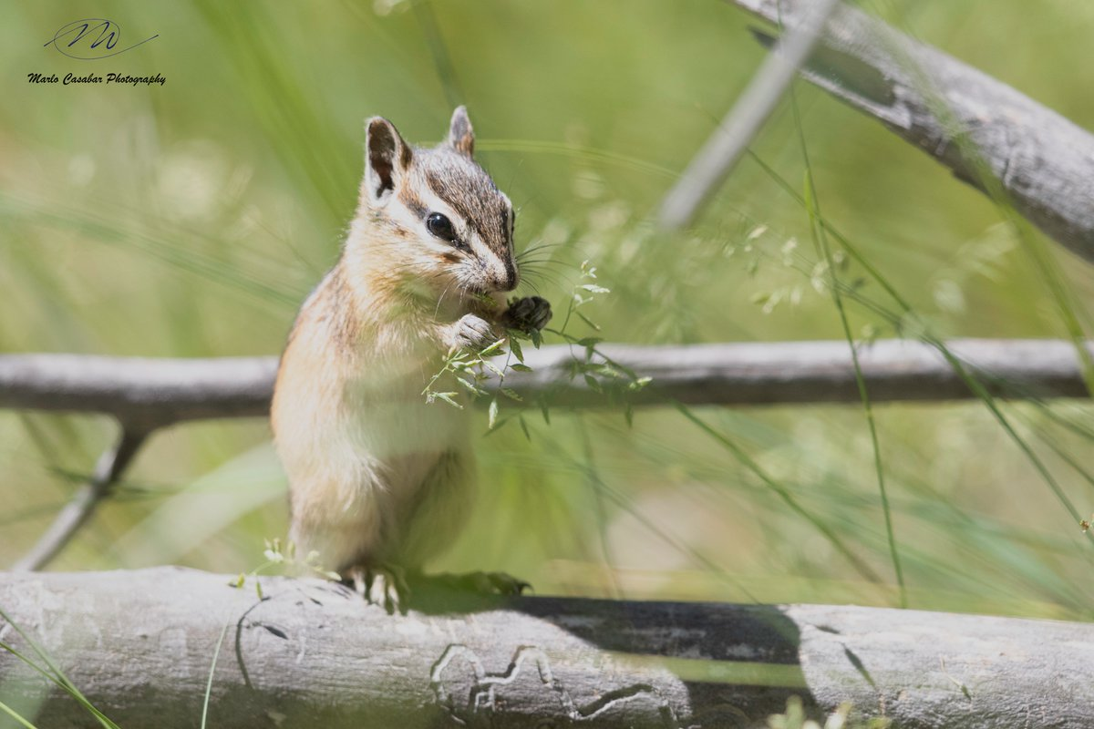 I can't wait to head back to photograph the wildlife at Lee Metcalf National Wildlife Refuge. Isn't this Least Chipmunk (Tamias minimus) the cutest thing you've ever seen?  #nature #naturephotography #natgeoyourshot #wildlife #wildlifephotography #worldwildlifephoto #wildlifeepic