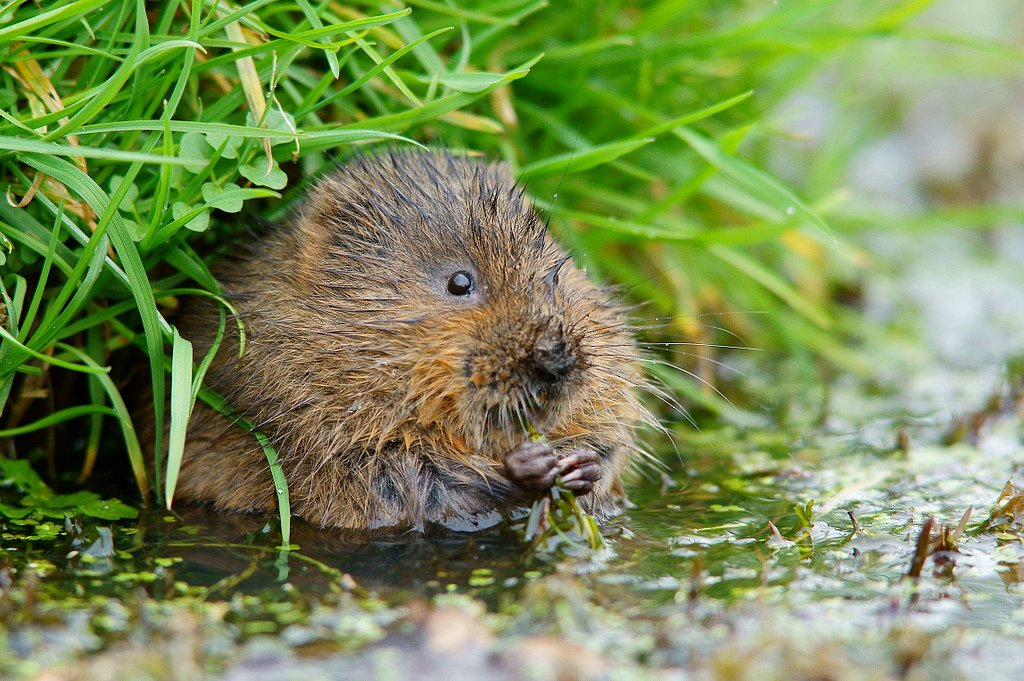 In Cumbrian dialect, 'watter-moose' is a water vole. The water vole is famously known as 'Ratty' in Kenneth Grahame's classic children's tale 'The Wind in the Willows'  #language #wildlife #Cumbria