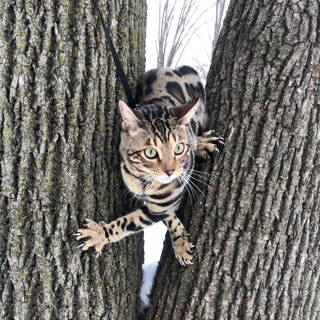 *Record scratch*  *Freeze frame* Yup, that's me. I bet you're wondering how I ended up in this situation.  Credit: @baldwinbengal on IG #recordscratch #begal #bengalcat #leashtraining #catsinnature #catsoftwitter
