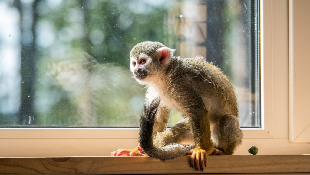 Have you ever wondered if monkeys can make good pets? 🐒 Read on for everything you should learn before making some monkey business your own business: