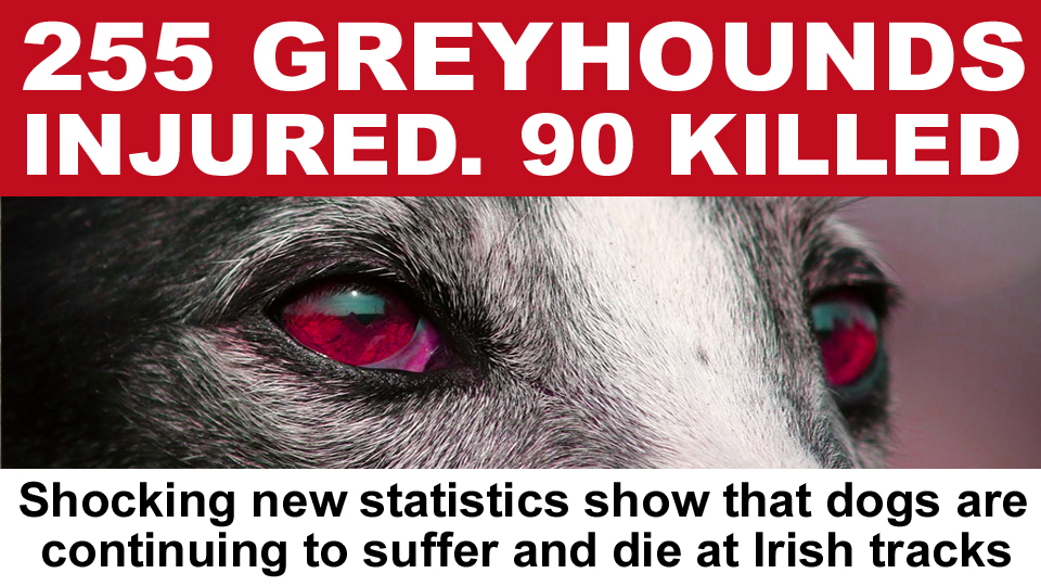 🔴 There are renewed calls on the government to ban greyhound racing after the release today of shocking new statistics showing that 255 greyhounds suffered injuries and 90 were killed at tracks around Ireland in 2020  #Ireland #BanGreyhoundRacing