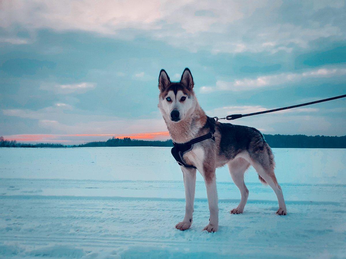 #husky #dog #mylove #snow #2021year