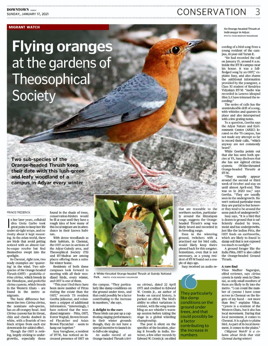 Two sub-species of the #OrangeHeadedThrush keep their date with the International HQ of the #TheosophicalSociety in Adyar. #TheHinduDowntown #DowntownCares #birdwatching #birding #TwitterNatureCommunity #IndiAves