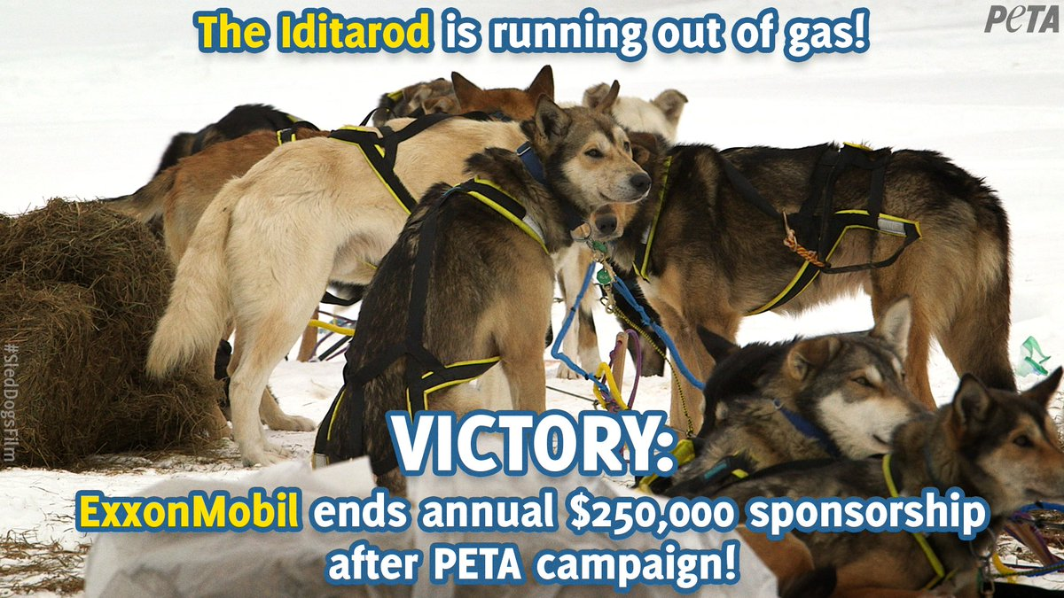 BREAKING: Following pressure from PETA & nearly 100,000 of our supporters, @exxonmobil is ending its decades long sponsorship of the #Iditarod.  No one should support a race that forces dogs to run 1,000 miles in subzero temperatures until they collapse.