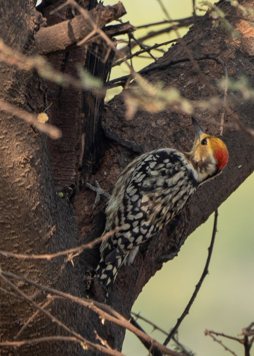 #IndiAves The yellow-crowned woodpecker or Mahratta woodpecker is a species of small pied #woodpecker found in the #Indian subcontinent. Oct 2020, #Faridabad, #India. @OlympusProIndia @OrnithophileI @WildlifeMag @vivek4wild #bbcwildlifepotd @Avibase #birds #nature @Saket_Badola https://t.co/68Wh8G9Pzd