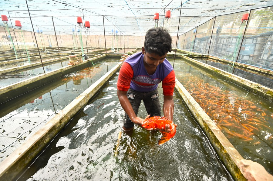 """With the increase in the trend of aquascaping in Bangladesh's capital Dhaka, ornamental fish farming using mostly """"Biofloc"""" aquaculture system, an advanced technique of fish farming, has been gaining popularity in parts of the country  #AsiaAlbum"""