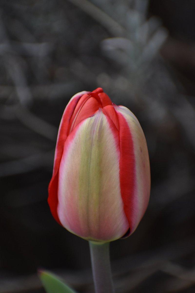 Anticipation #photography #photooftheday #nature #tulips #naturephotos #red #naturephotography https://t.co/0stKuO1PSA