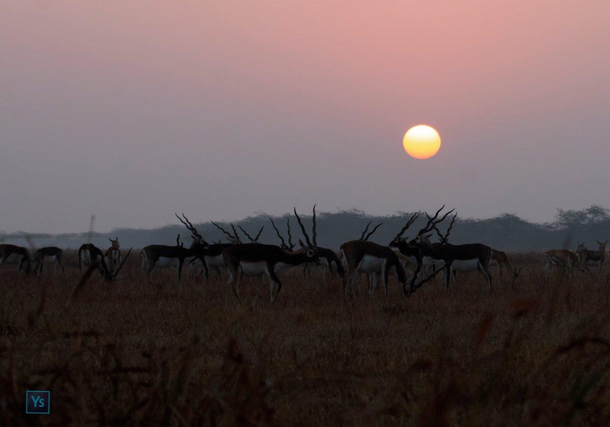 Blackbucks, Velavadar  #Wildlife #wildlifephotography #nature #NaturePhotography #TwitterNatureCommunity #IncredibleIndia #GujaratTourism #BBCWildlifePOTD #ThePhotoHour #Velavadar #bbcwildwife #IndiAves #wildlifeofgujarat @Canon_India @incredibleindia @GujaratTourism @IndiAves https://t.co/sdCUTwZNmh