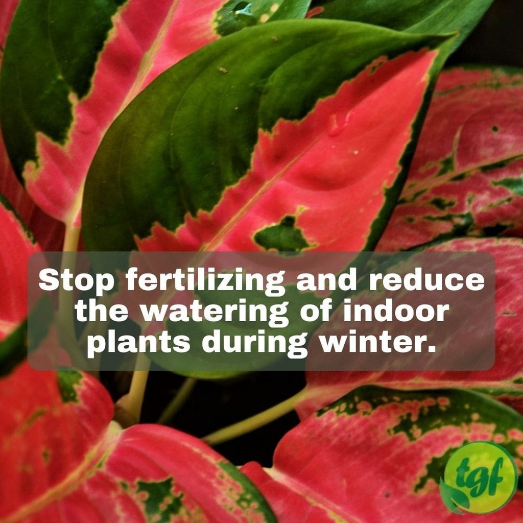 Just Pinned to Pruning Tips: Stop fertilizing and reduce the watering of indoor plants during winter. #gardening #garden #gardeningtip #beautiful #nature #thegardenersfriends #photooftheday #picoftheday #greenthumb #green #gardenlife #lifestyle #plant #p…