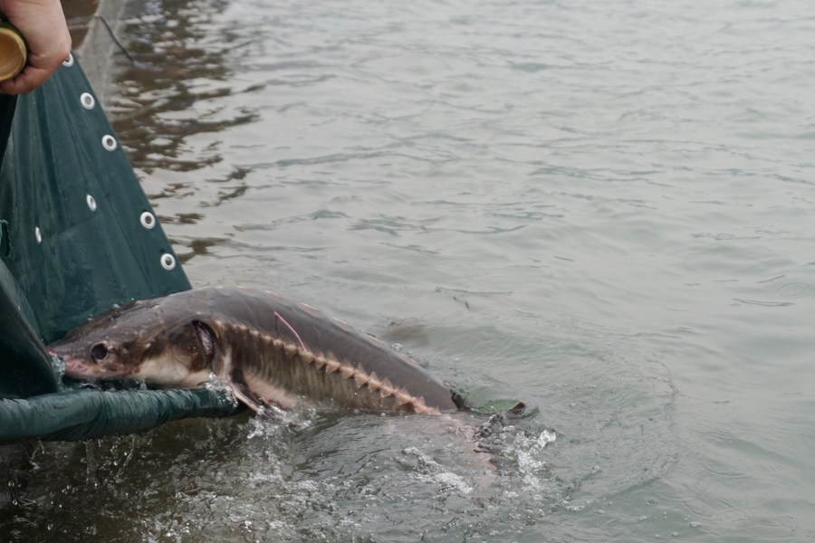 China releases endangered sturgeon into Yangtze River in the latest effort to replenish the wild population of the endangered fish