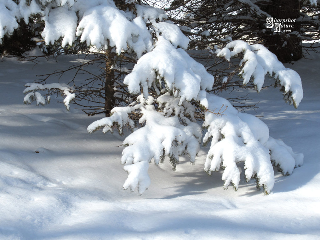 Please like, share, and add a comment! Current post & gallery at the website Home Page  #branch #nature #naturephotography #photography #pine #pinetree #sharpshotnature #sky #snow #stick #tree #twig #wildlife #wildlifephotography #winter  https://t.co/mRBNJWptRw https://t.co/eQFJq2uD5L