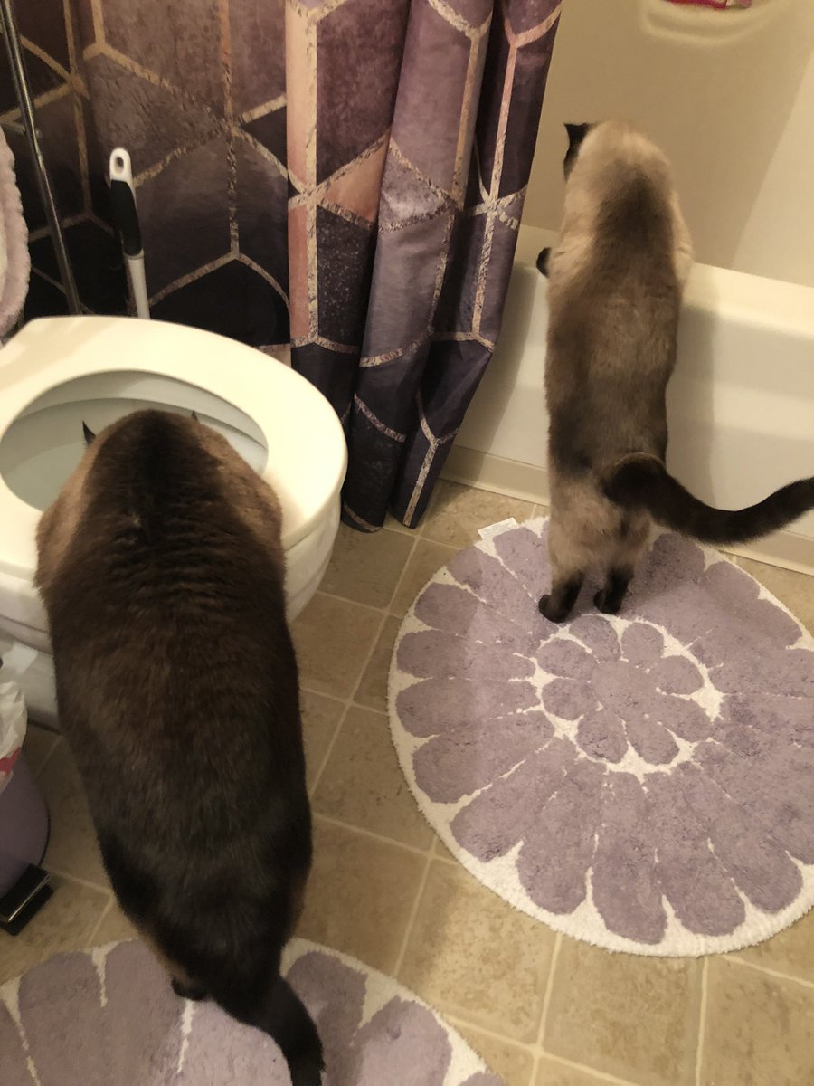 Inspecting the bathroom #siamese #cat #SiameseCat #CatsOfTwitter #catsofinstagram #CatsOnTwitter
