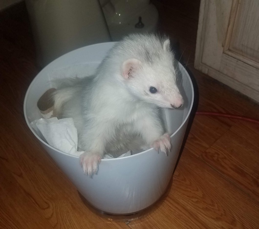 Ever had or would have ferrets as pets? #askpunk