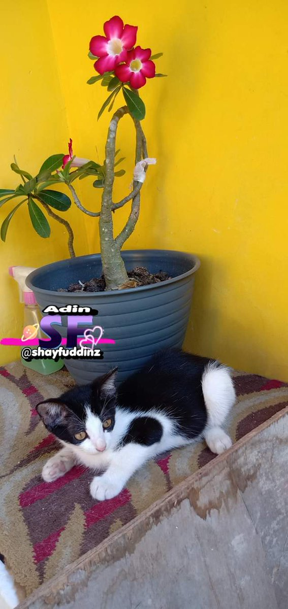 Hay cute kitten, what are you doing ??  #kitten #cute #adenium #kamboja #catlover #catloversclub #cats_of_instagram #cats #catsofinstagram #kucingindonesia #kucinglovers #adinSF  #pets #kucinglucu #JumatBerkah