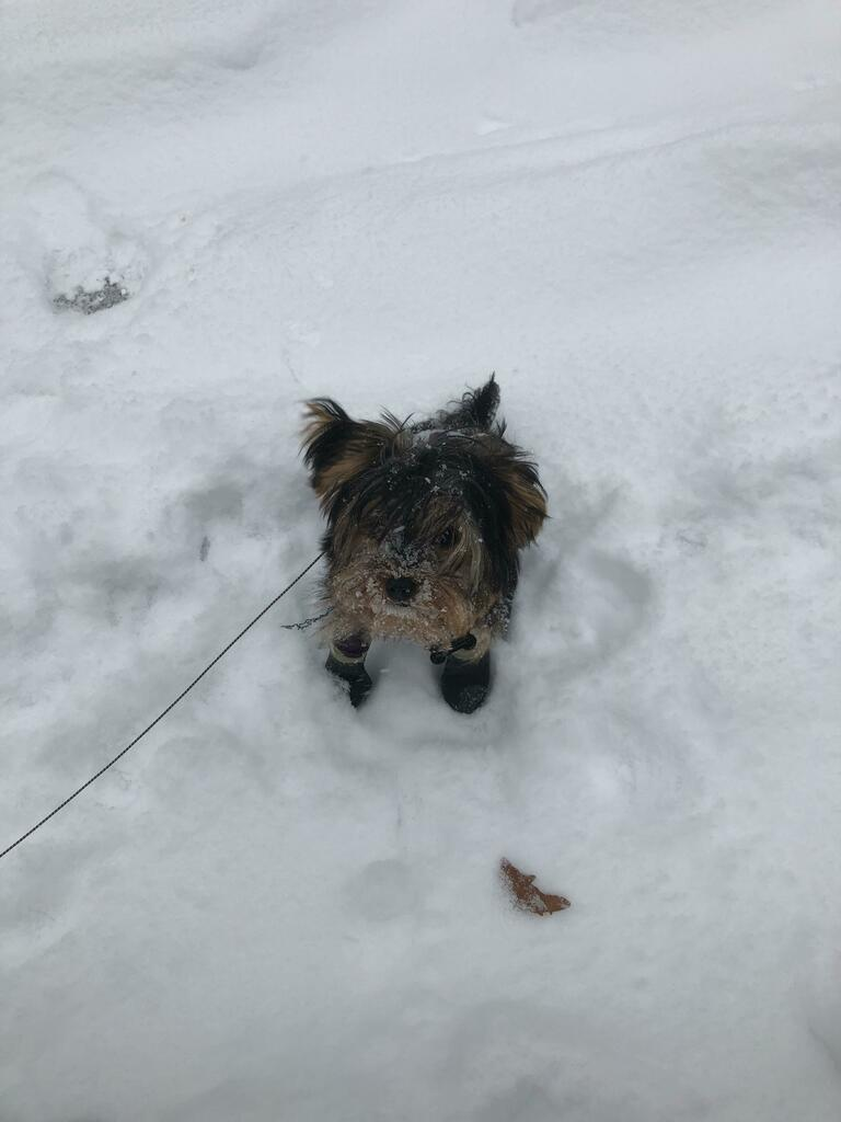 My little winter teddy bear! #yorkies #dogsoftwitter #cute