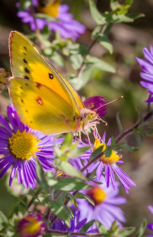 Orange Sulphur Butterfly -  #butterfly #aster #insect #yellow #purple #nature #flower #wildflower #native #naturephotography #ArtForHealing #henrydomke #artinhospitals #colias #symphyotrichum Colias eurytheme Symphyotrichum novae-angliae