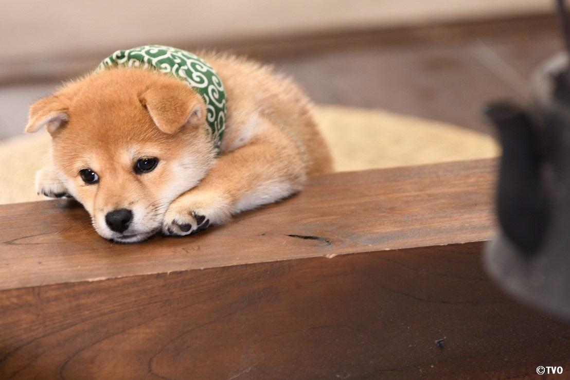 寒い日。⛄️お家でまったりしている豆助。😊22代目豆助。#柴犬 #shibainu #豆助 #puppy  #子犬 #イッヌ #癒し