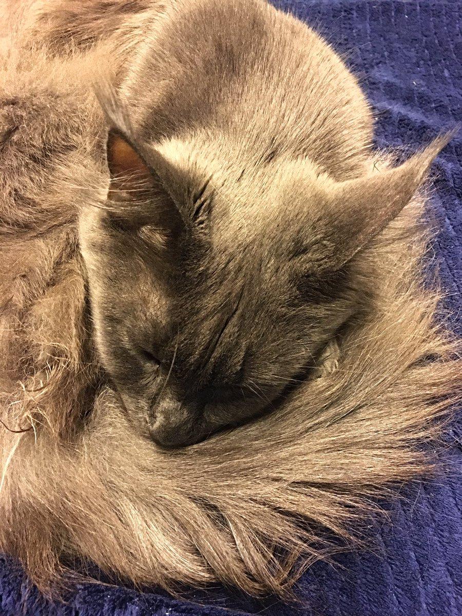 Bella macht Schlafi 🥰  #mainecoon #haustier #love