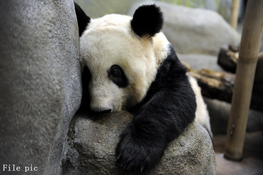 """Two giant pandas at U.S. Memphis zoo are """"healthy animals"""" without any underlying medical or malnutrition issues, says the zoo in a statement to Xinhua amid emerging concern on Chinese social media over conditions of Ya Ya and Le Le, both in their 20s"""