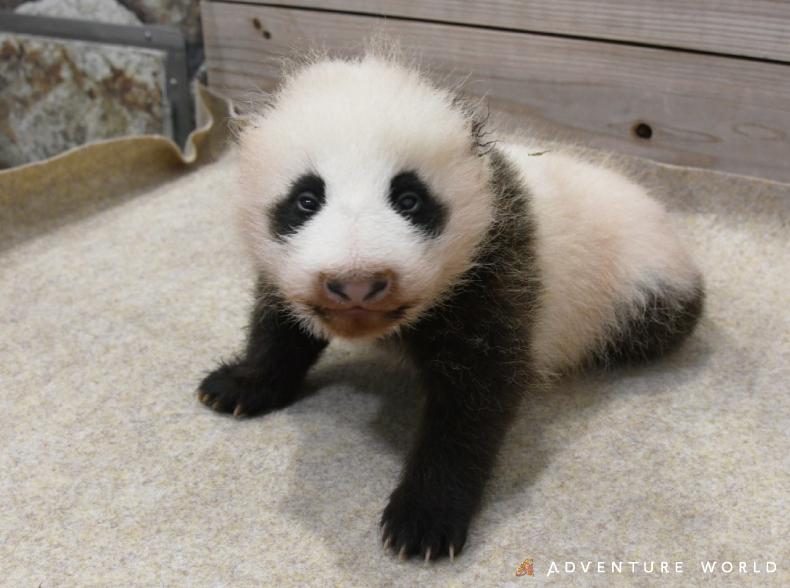 ~ジャイアントパンダの赤ちゃんが生後2か月を迎えました!素敵な名前を募集中!