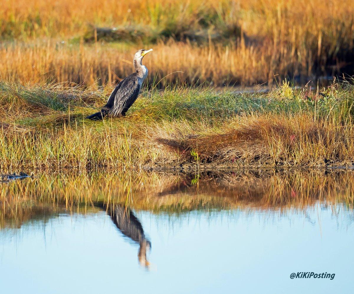 Cormorant ~  #wildlifephotography #wildlife #birds #birdphotography #Peace #harmony #tranquility #photography #nature #NaturePhotography #naturelovers #TwitterNatureCommunity #cormorant #water #mirror #reflection #reflections