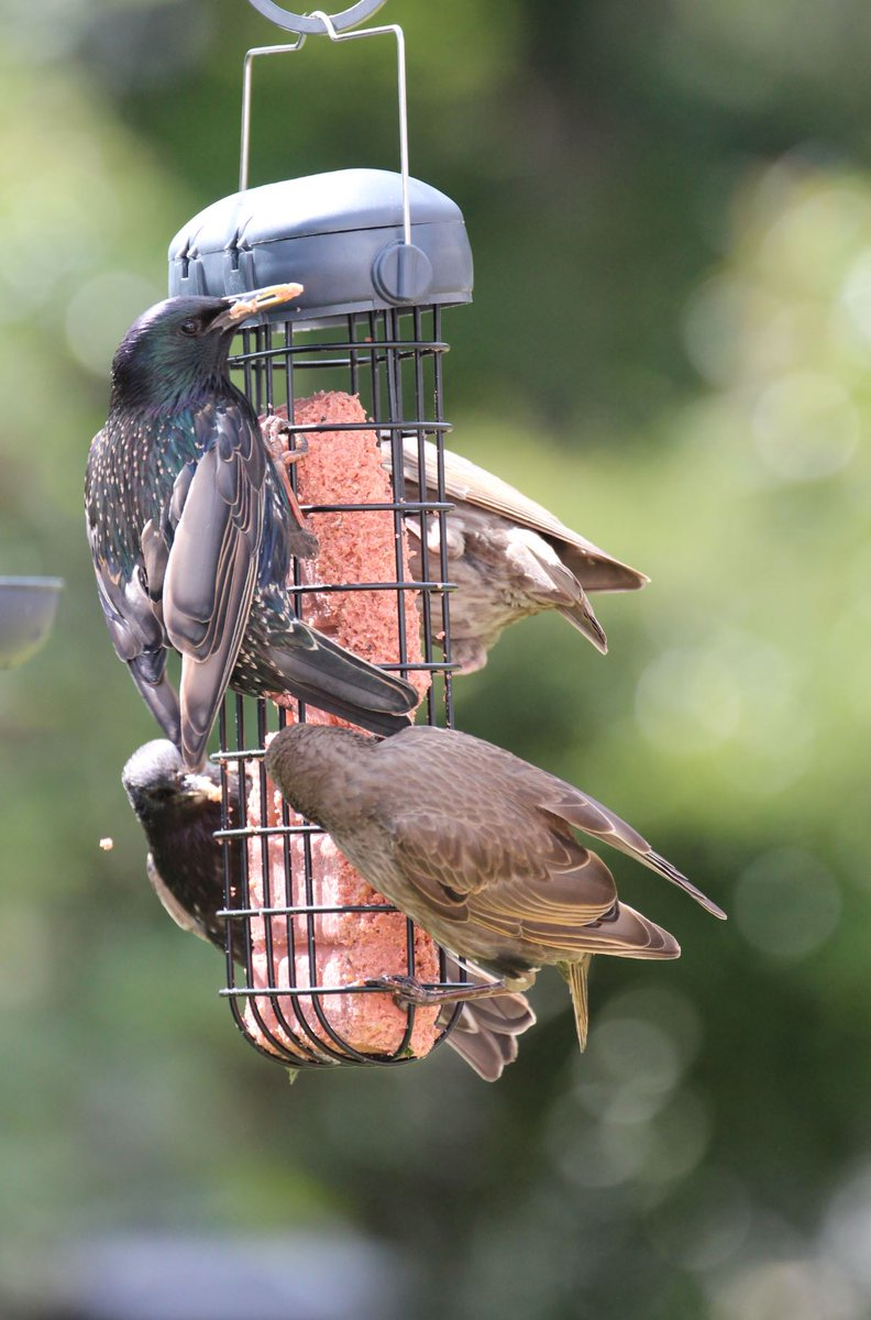Our innovative and elegant Essential Plus Double Suet Cake Feeder delivers space for two delicious Suet Berry Cake that include Raisins and Rowan Berries.   #wildbirdfeeding #birdlovers #birdwatching #gardenlife #wellbeing #henrybell