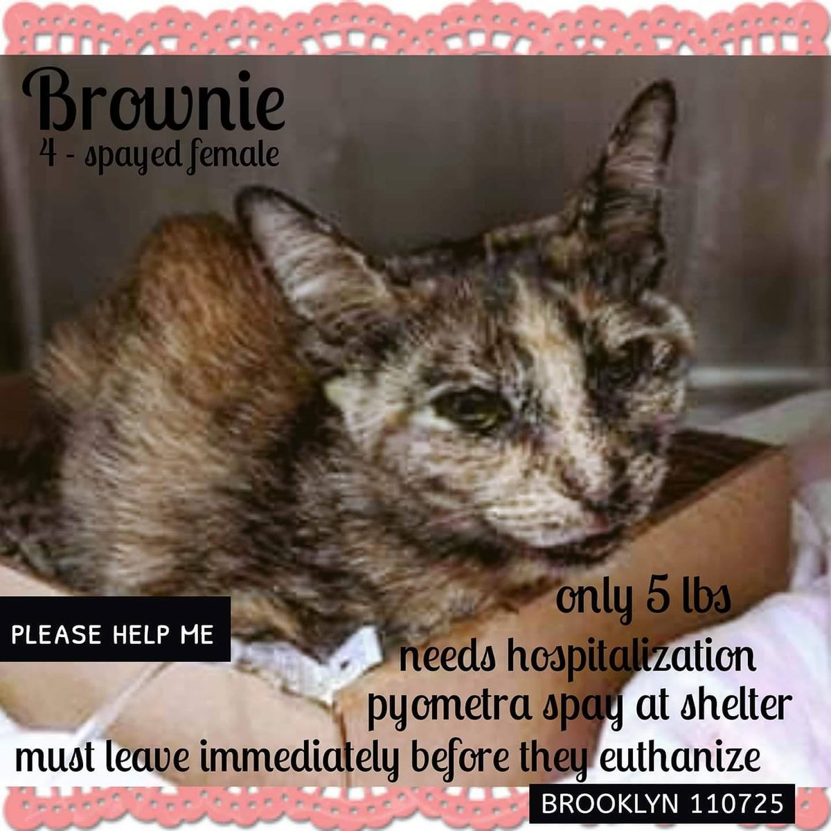 """Poor tortie kitty """"Brownie"""" 110725 in #NewYork"""" at NYC ACC had a pyometra spay & bradycardia, emaciation, anemia, azotemia etc)! (Betrayal is hard)! Can this precious girl be saved? Adopt! Pledge for rescue! VERY URGENT!"""