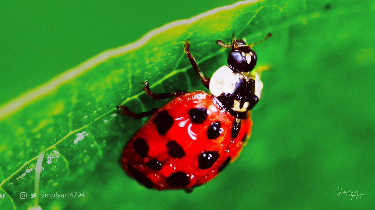 Photography·Ladybug Place@Canada Follow@simplyart4794 #simplyart4794#naturephotography#Canada#travel#travelphotography#wildlife#wildlifephotography#redbeetle#nature#relax#ladybug#beetle#macrophotography#macro#macroworld#macrocaptures#insectphotography#insect