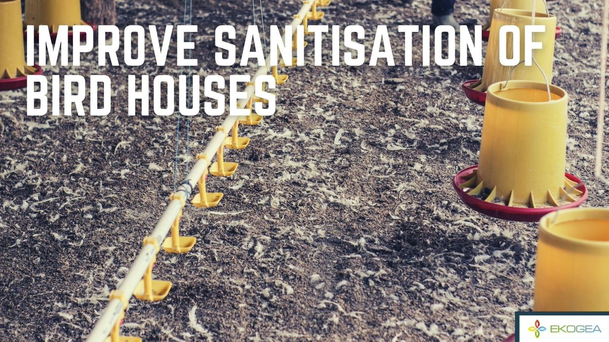 ➡️ Zero antibiotic use by 2030 needs continued improvements in bird house sanitisation.  ➡️ Ekogea's BioComplex Sanitiser, applied as a mist in the bird house, significantly improves the sanitary conditions   #poultry #broiler #anitibiotics #animalhealth