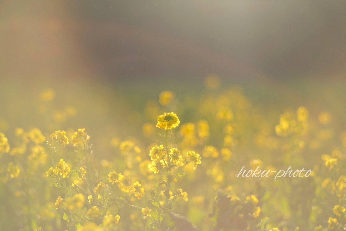 遠い記憶  #菜の花 #花写真 #photography #fujifilm