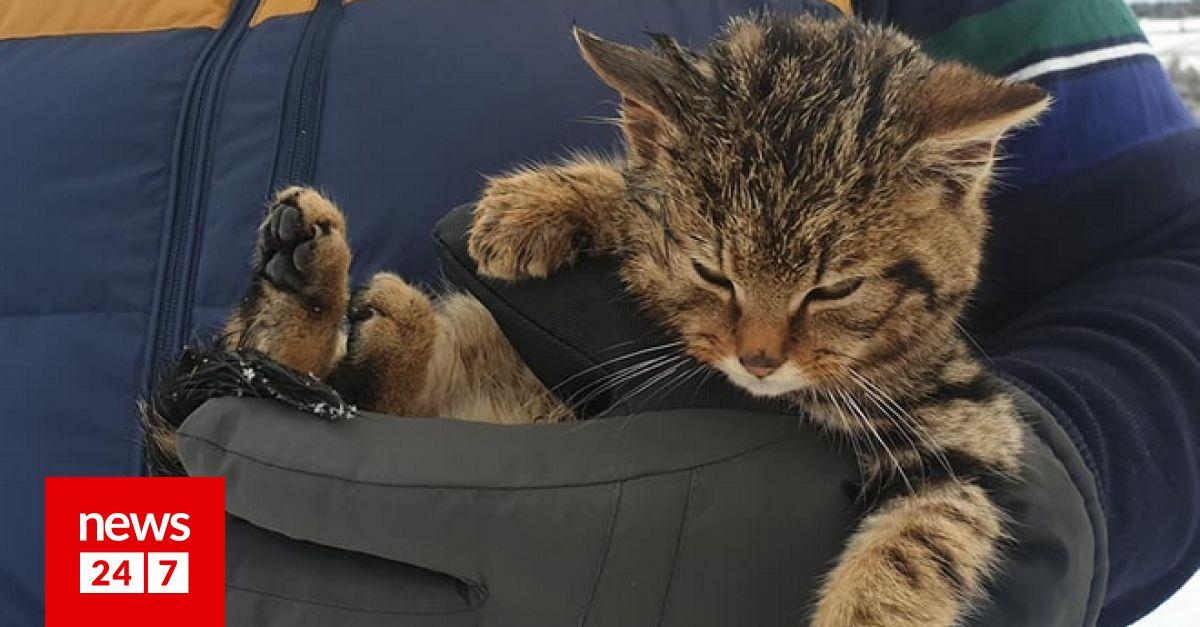 Νόμιζε οτι βρήκε ένα γατάκι αλλά τελικά ήταν η σπάνια αγριόγατα της Σκωτίας: Ένα απο τα πιο απειλούμενα θηλαστικά στην Ευρώπη εντόπισε ένας Σκωτσέζος σε βόλτα με το γιο του. dlvr.it/Rr6TQC