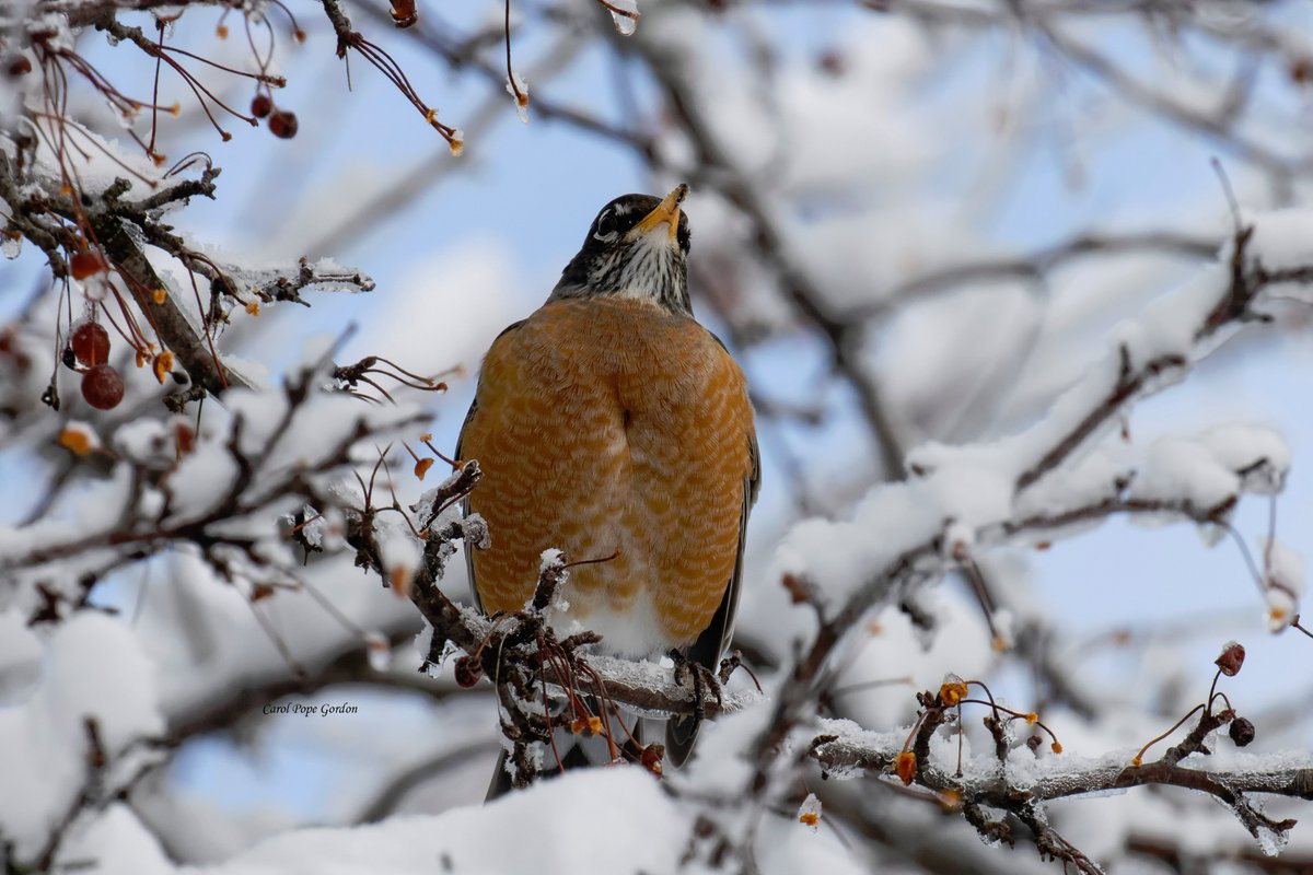 American Robin after our last snowfall. #Illinois #WINTER #birds #birdphotography #wildlifephotography #TwitterNatureCommunity